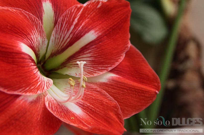 No solo dulces - Mojito con fruta de la pasión Flor de lirio rojo